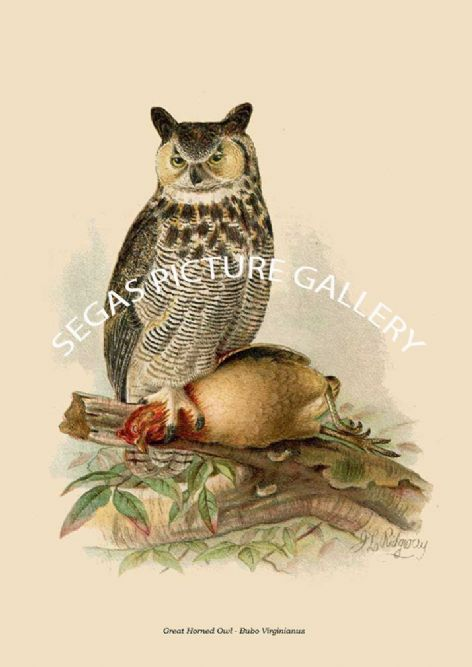 Fine art print of the Great Horned Owl - Bubo Virginianus by Robert Ridgway (1893)